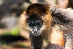 Thinking monkey 2 Royalty Free Stock Photography