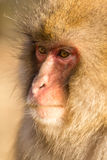Thinking monkey Royalty Free Stock Images