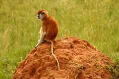Thinking Monkey sitting on a rock. A Patas monkey sits on a rock thinking royalty free stock photo