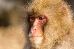 Thinking Monkey Royalty Free Stock Photos