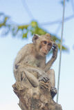 Thinking monkey Royalty Free Stock Photo