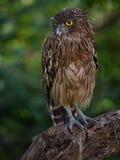 Thinking owl Royalty Free Stock Image
