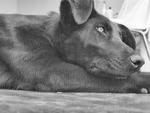 Thinking. Peaceful dog thinking Stock Photography