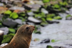 Thinking Seal as a Thinker in NewZealand. He is not an animal。Thinking Seal as a Thinker in NewZealand Royalty Free Stock Images
