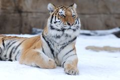 Thinking tiger Royalty Free Stock Photos