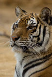 Thinking Tiger Stock Photography