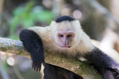 Thinking white headed capuchin monkey resting. Thinking white-headed capuchin monkey Cebus capucinus resting in National Park Manuel Antonio - Costa Rica stock photo
