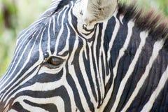 Thinking Zebra Stock Photography