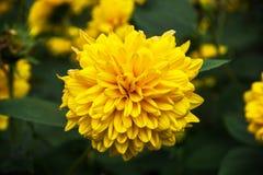 Thinleaf sunflower (Helianthus decapetalus) Royalty Free Stock Image