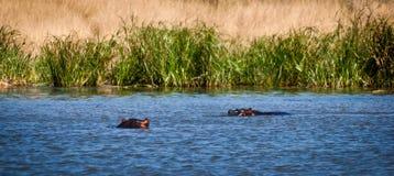 THippos в озере Стоковые Фотографии RF