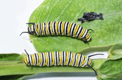 Third and fouth instar comparison of Monarch caterpillars Royalty Free Stock Image