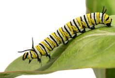 Third instar Monarch caterpillar on a Milkweed leaf. Side view stock photos