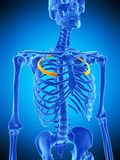 The third rib. Medically accurate illustration of the third rib Royalty Free Stock Photo