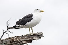Third year Black-backed Gull Larus Dominicanus. Black and white tones of a third year black-backed gull. Maori name is karoro. photographed Te Rere Bay Royalty Free Stock Images