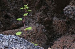 Thirst to the life.  Sprout growing on the volcanic stones. Concept Stock Image