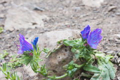 Thirst to life. Viper's Bugloss growing on stones. Thirst to the life.  Viper's Bugloss growing on the volcanic stones. Concept Stock Image