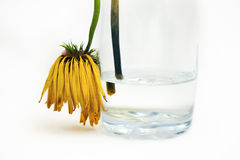 Thirsty. A limp gerbera draped over a nearly empty glass Royalty Free Stock Photography