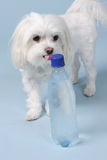 Thirsty. As a dog with a bottle of water Royalty Free Stock Photos