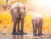 Thirsty african elephants drinking water at waterhole. Moremi Game Reserve, Okavango Region, Botswana royalty free stock photos
