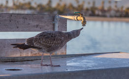 Thirsty American juvenile herring gull. Royalty Free Stock Image