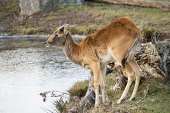 Thirsty antelope Royalty Free Stock Images