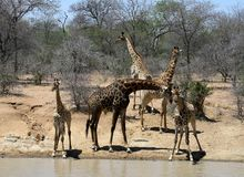 Thirsty baby giraffes with adult giraffes near water in the Savanna. – South Africa Royalty Free Stock Photos