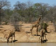 Thirsty baby giraffes drinking water. In the savanna  - south africa Royalty Free Stock Images