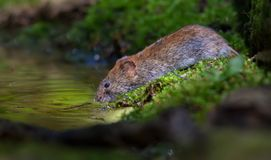 Shiny Bank vole drinks water in the mossy forest puddle in lovely sweet light. Thirsty Bank vole drinking water at the forest pond in good sweet light royalty free stock image