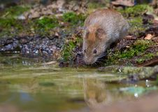 Thirsty Bank vole drinks water at the forest puddle. Thirsty Bank vole drinking water at the forest pond stock photos