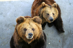 Thirsty bears. Two thirsty brown bears in zoo Stock Photography