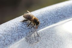 A thirsty bee is drinking from a water bowl stock image