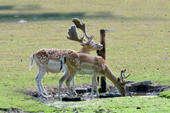 Thirsty black fallow deers. Drinking at water place royalty free stock images