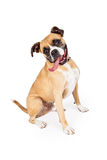Thirsty Boxer Mixed Breed Sitting Royalty Free Stock Photography