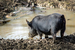 Thirsty bristle pig Stock Photography