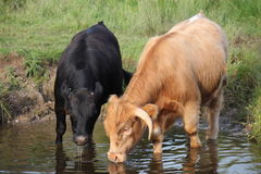 Thirsty bullocks. Stock Images