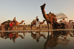 Thirsty camel Royalty Free Stock Photo