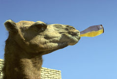 Thirsty camel Stock Photos
