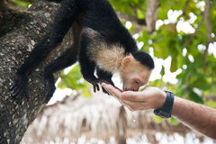 Thirsty capuchin. Little capuchin monkey drinking from the human hand stock photo