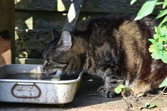 A thirsty cat drinking rainwater in summer Stock Images