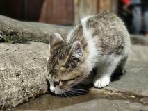 A thirsty cat, it looks like it was a childhood stock photography