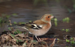 Thirsty Chaffinch Royalty Free Stock Images