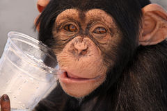 Thirsty Chimp. Closeup of a Chimpanzee drinking from a plastic cup Stock Photo