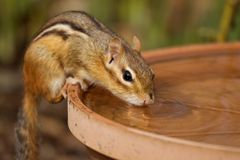 Thirsty Chipmunk. A chipmunk drinks water from a bowl Stock Photography