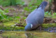 Nice Common wood pigeon drinks water at the forest puddle without lifting its head stock images
