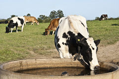 Thirsty Cow Royalty Free Stock Photography