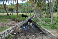 Thirsty cows at a coconut plantation Royalty Free Stock Photos