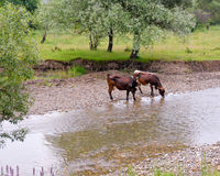 Thirsty cows in river. Cows drinking water from river bank royalty free stock images