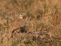 A thirsty Crested Lark. In the heat of the summer, a Crested Lark suffers the high temperatures of the spanish interior flatlands of Lerida Royalty Free Stock Photos