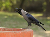 Thirsty crow. Sitting besides water bowl royalty free stock photo