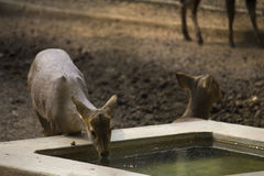Thirsty deer. Drinking water Royalty Free Stock Photo